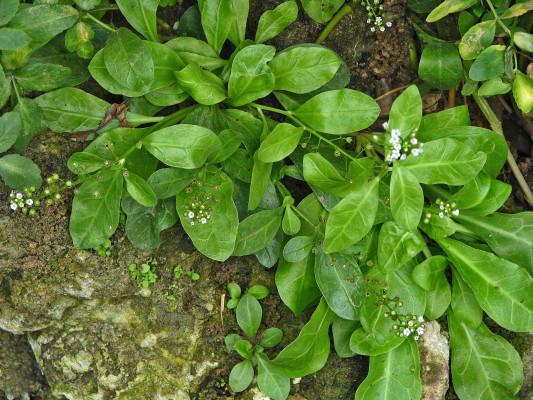 ערידת הביצות Samolus valerandi L.