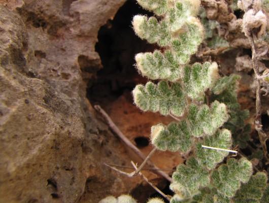 Cosentinia vellea (Aiton) Tod.