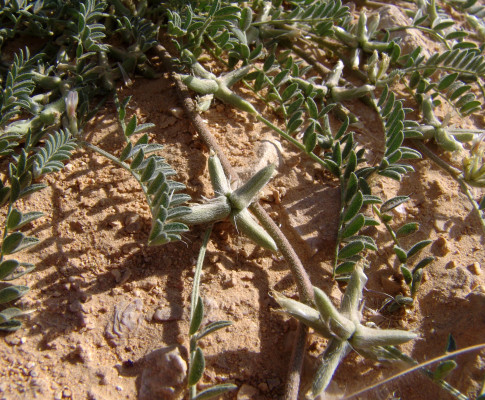 קדד קוטבי Astragalus tribuloides Delile