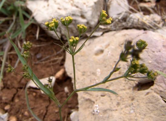 צלע-שור לבנונית Bupleurum libanoticum Boiss. & Blanche