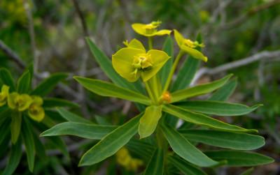 העלים הסמוכים לתפרחת בולטים בצבעם הצהוב.