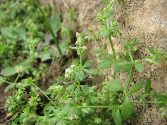 דבקת יריחו Galium hierochuntinum Bornm.