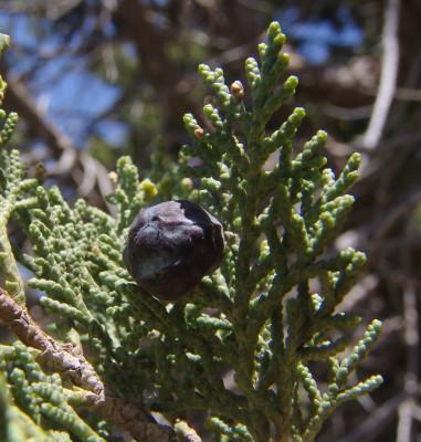 Juniperus excelsa M.Bieb.