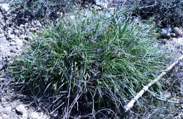 Carex hallerana Asso
