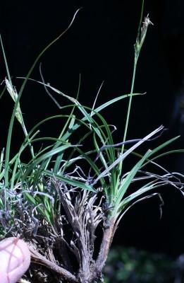 כריך נמוך Carex hallerana Asso