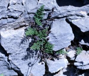 העלים בני-קיימא, מתקפלים בהתייבשם ונפרשים בהירטבם; אונות העלים הבוגרים קירחות וירוקות בצדן העליון