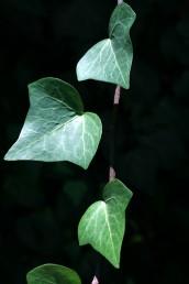 עלי הצמח לפני הפריחה בעלי 5-3 אונות משולשות; עירוקם כעין כף היד