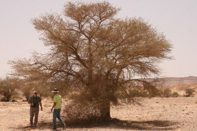 נוף העץ הבוגר