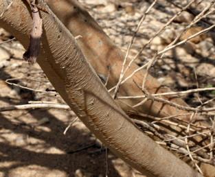 קליפה טיפוסית של עץ בוגר בבקעת ים-המלח