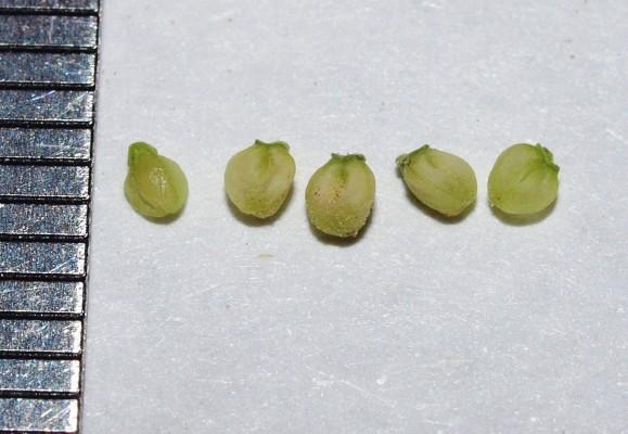 ולריינית זעירה Valerianella pumila (Willd.) DC.