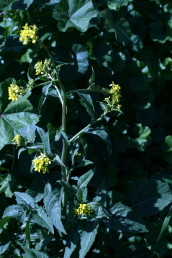 צבע הכותרת צהוב לימוני. העלים דמויי כינור או שסועים; האונות מחודדות