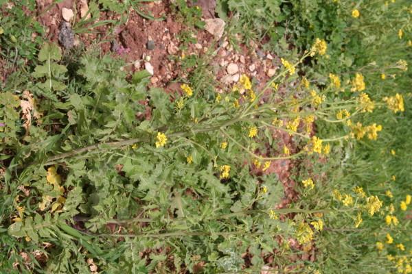 חטוטרן מצוי Ochthodium aegyptiacum (L.) DC.