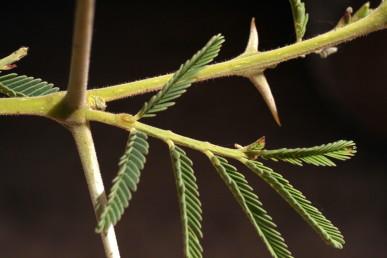 צופן חוץ-פרחי (אקסטרה-פלורלי) על ציר העלה המורכב, מתחת לזוג הסעיפים הראשון. העלה מלווה בזוג קוצי לוואי ישרים