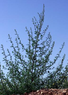 כף-אווז פולש Chenopodium novopokrovskyanum (Aellen) Uotila