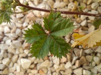 העלים מחולקים ל-5-3 אונות; האונות בעלות שיניים ארוכות וחדות אונות.