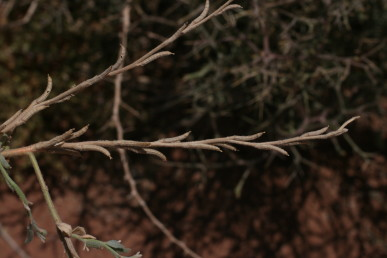 העלים תמימים, הפרי גלילי בראשו עמוד-עלי דק וקירח