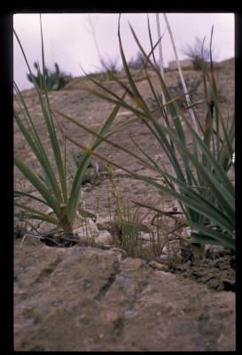 דבורנית דינסמור Ophrys umbilicata Desf.