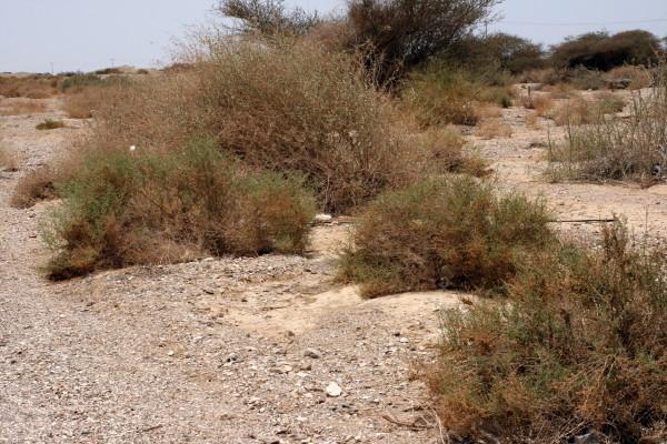 מלחית הערבה Salsola gaetula (Maire) Botsch.