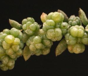 הפרחים מקובצים בקבוצות בעלות 5 עלי-עטיף ירוקים, בשרניים וכדוריים. בחלקם ניכרים שרידי אבקנים במרכז הפרח
