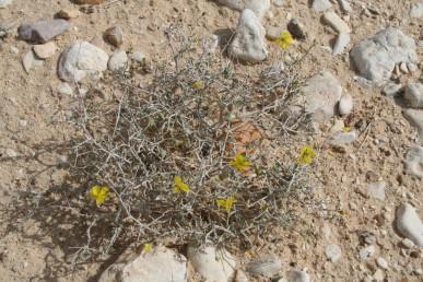בן-שיח סבוך שענפיו הבוגרים מלבינים; הפרחים דלילים בדרך כלל