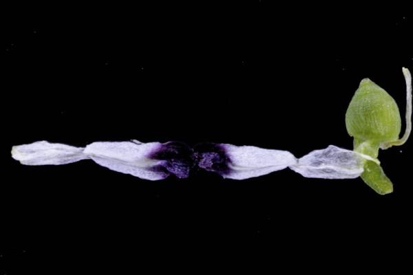 עשנן חשוף Fumaria asepala Boiss.