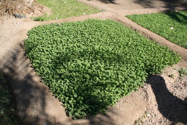 חלמית קטנת-פרחים Malva parviflora L.