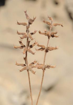 אקינוס ריחני Clinopodium graveolens (M.Bieb.) Kuntze