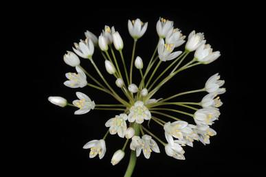 הפרחים קטנים, לבנים צחורים עד ורדרדים