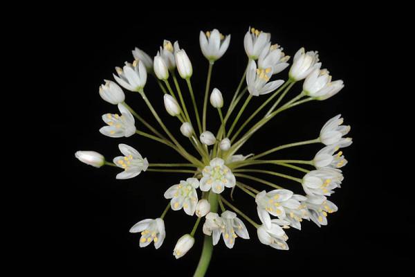 Allium akirense Friesen & Fragman