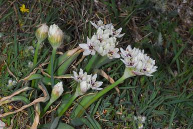 צמח הררי נמוך יחסית לשום שחור