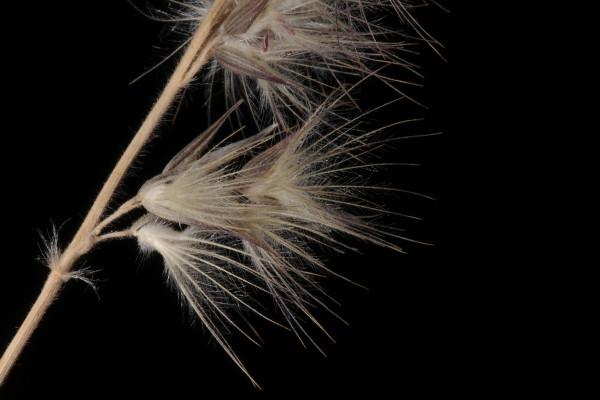ציצן פרסי Enneapogon persicus Boiss.