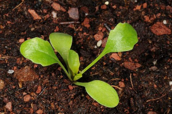 Lepidium hirtum (L.) Sm.