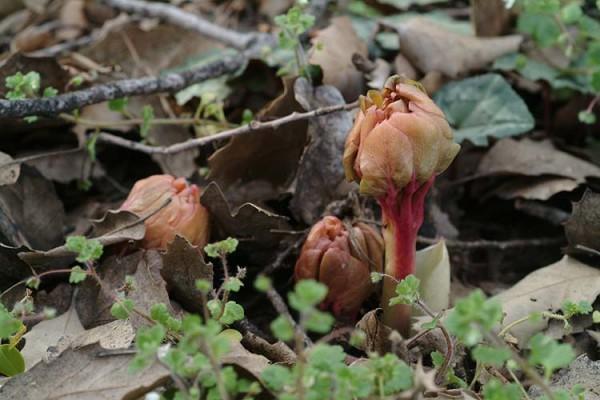 אדמונית החורש Paeonia mascula (L.) Mill.