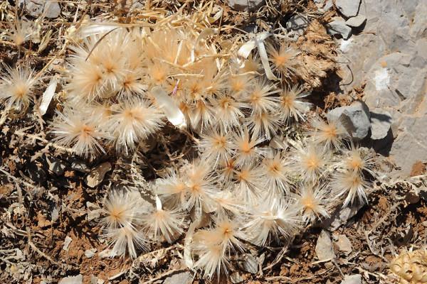 קרקפן נמוך Serratula pusilla (Labill.) Dittrich