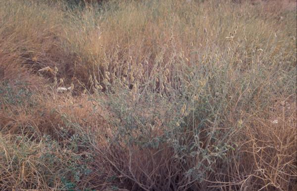 טפרוסיה נובית Tephrosia nubica (Boiss.) Baker