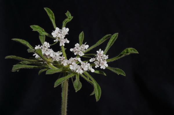 דרכמונית סורית Tordylium syriacum L.