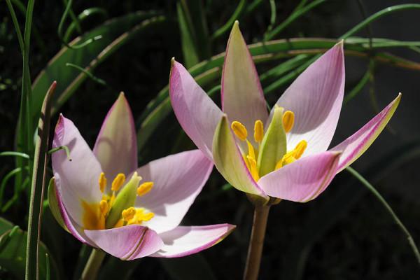 צבעוני החרמון Tulipa aucheriana Baker
