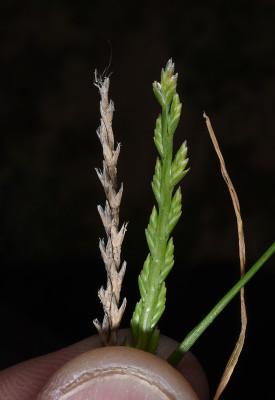 סיסן זוני Catapodium marinum (L.) C.E.Hubb.