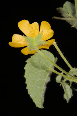 Abutilon indicum (L.) Sweet