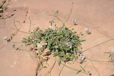 צמח מדברי הררי בעל תפרחות מעוטות פרחים ועלים תלתניים המרוכזים בבסיס