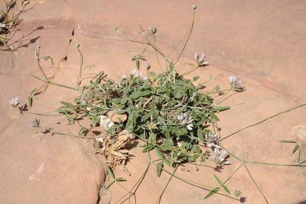 שרעול אדומי Bituminaria flaccida (Nabelek) Greuter