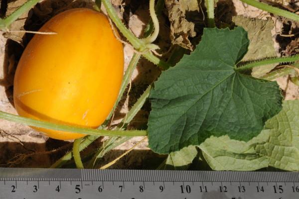 מלפפון משולש Cucumis acidus Jacq. f.