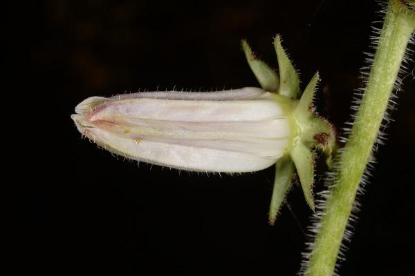 מישויה פעמונית Michauxia campanuloides L'Her.