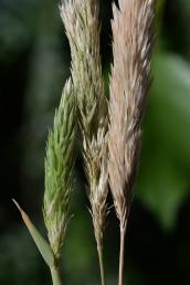 התפרחות מהודקות, הגלומות אינן שוות, מחודדות וארוכות מהמוצים. בשיבולית פרח פורה אחד