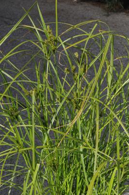גומא צפוף-שיבולת Cyperus eleusinoides Kunth