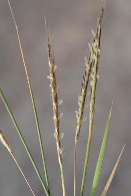 זקנונית הגממות Dichanthium foveolatum (Delile) Roberty