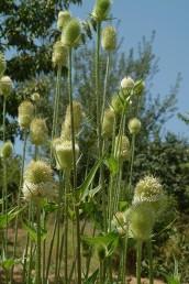 צמח קוצני זקוף וגבוה מאד, בעל תפרחות ביצניות