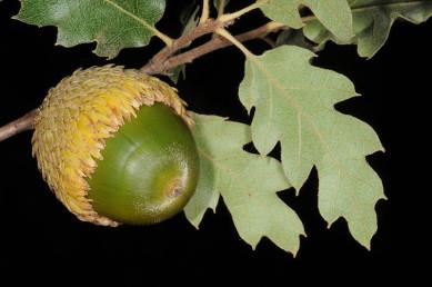 העלה גלדני, אונות העלה שוות. הבלוט כמעט כדורי, קשקשי הספלול הדוקים, עצי יער הררי החרמון