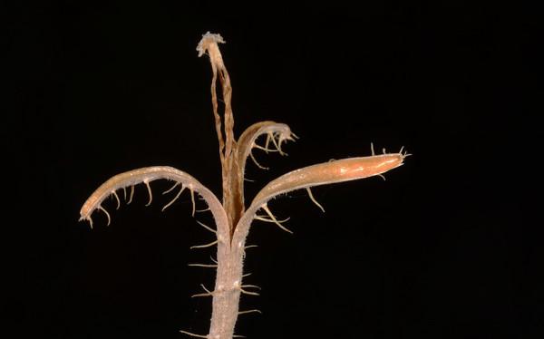 בן-פרג סגול Roemeria hybrida (L.) DC.