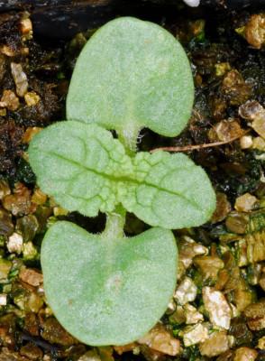 מרוות איג Salvia eigii Zohary